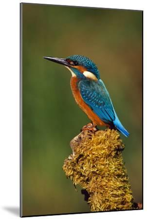 Kingfisher Perched on Moss Covered Tree Stump--Mounted Photographic Print