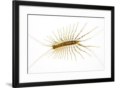 House Centipede on a Bedroom Wall--Framed Photographic Print