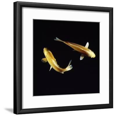 Koi Carp--Framed Photographic Print