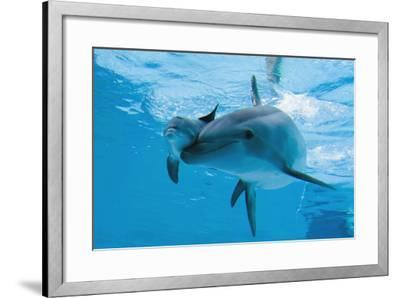 Bottlenose Dolphin Recently Born Calf Swims with Mother-Augusto Leandro Stanzani-Framed Photographic Print