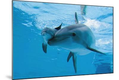 Bottlenose Dolphin Recently Born Calf Swims with Mother-Augusto Leandro Stanzani-Mounted Photographic Print