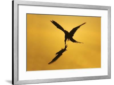 Great Frigatebird Catching Red-Footed Booby--Framed Photographic Print