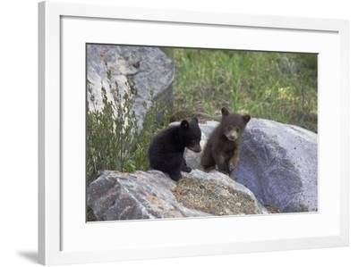 Black Bear Two Cubs Playing on Rocks--Framed Photographic Print