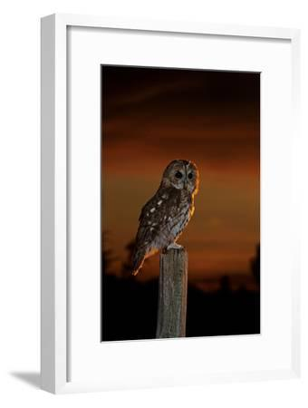 Tawny Owl on Post at Sunset--Framed Photographic Print
