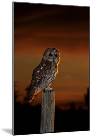 Tawny Owl on Post at Sunset--Mounted Photographic Print