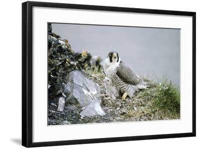 Peregrine Falcon Adult Warms a Chick-Andrey Zvoznikov-Framed Photographic Print