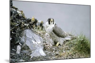 Peregrine Falcon Adult Warms a Chick-Andrey Zvoznikov-Mounted Photographic Print
