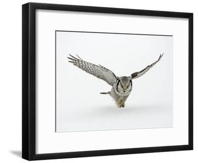 Hawk Owl in Flight over Snow--Framed Photographic Print