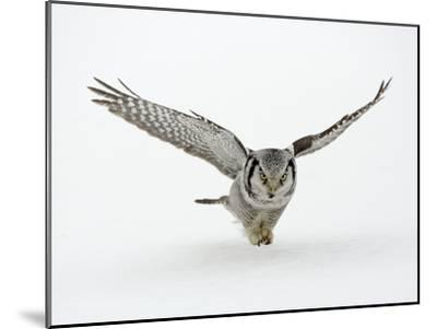 Hawk Owl in Flight over Snow--Mounted Photographic Print