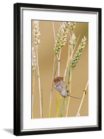 Harvest Mouse in Wheat--Framed Photographic Print