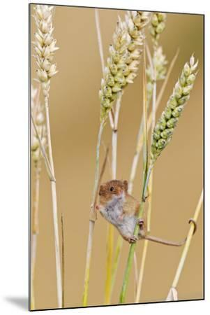Harvest Mouse in Wheat--Mounted Photographic Print