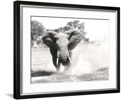 African Elephant Bull Displaying Aggressive Behaviour--Framed Photographic Print