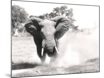 African Elephant Bull Displaying Aggressive Behaviour--Mounted Photographic Print