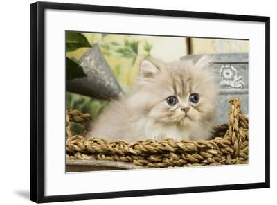 Blue Shaded Persian Kitten in Basket--Framed Photographic Print
