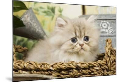 Blue Shaded Persian Kitten in Basket--Mounted Photographic Print