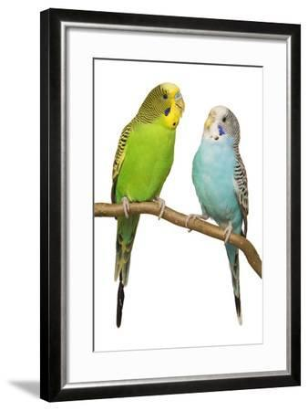Budgerigars on Perch--Framed Photographic Print