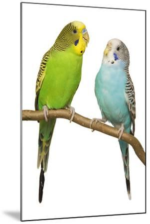 Budgerigars on Perch--Mounted Photographic Print