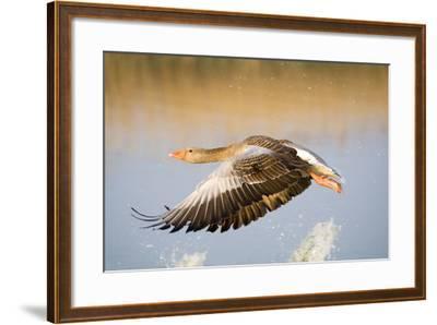 Greylag Goose in Flight--Framed Photographic Print
