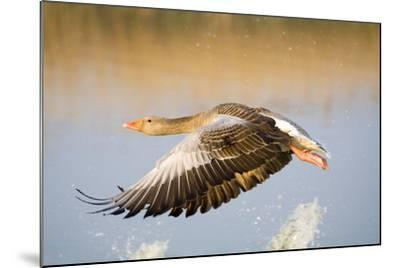 Greylag Goose in Flight--Mounted Photographic Print
