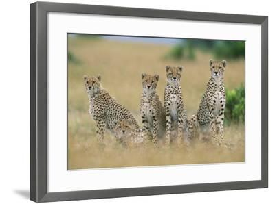 Cheetahs X Five Sitting in Line--Framed Photographic Print