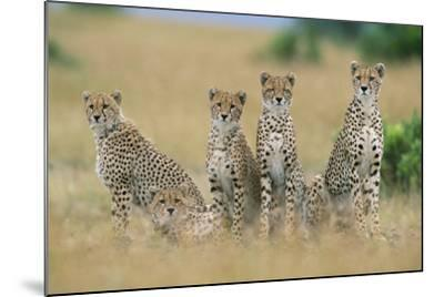 Cheetahs X Five Sitting in Line--Mounted Photographic Print