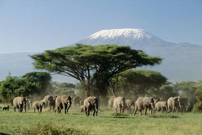 African Elephant Herd Infront of Mt, Kilimanjaro--Photographic Print