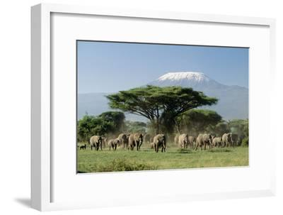African Elephant Herd Infront of Mt, Kilimanjaro--Framed Photographic Print