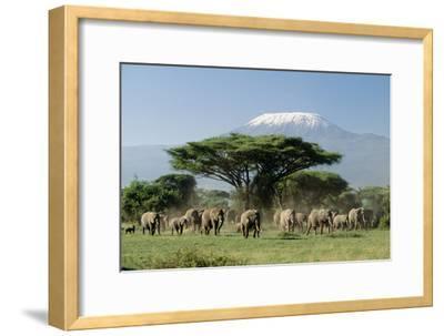 African Elephant Herd Infront of Mt, Kilimanjaro--Framed Photographic Print