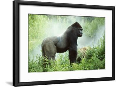 Lowland Gorilla Male Silverback--Framed Photographic Print
