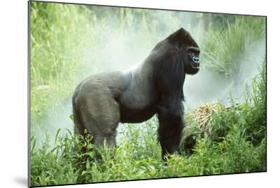 Lowland Gorilla Male Silverback--Mounted Photographic Print