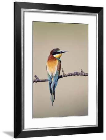 European Bee-Eater--Framed Photographic Print