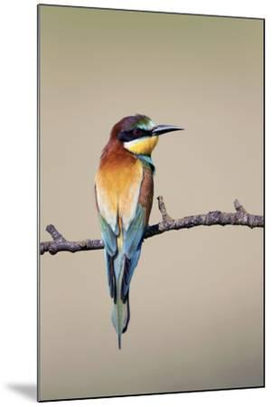 European Bee-Eater--Mounted Photographic Print