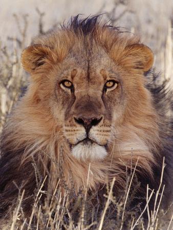 Lion--Photographic Print