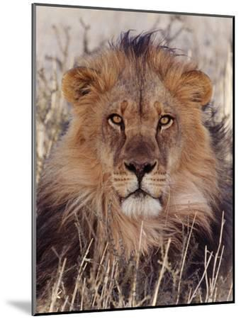 Lion--Mounted Photographic Print