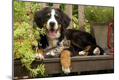 3 Month Old Bernese Mountain Dog Puppy On--Mounted Photographic Print