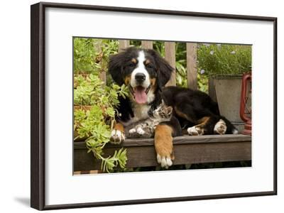 3 Month Old Bernese Mountain Dog Puppy On--Framed Photographic Print