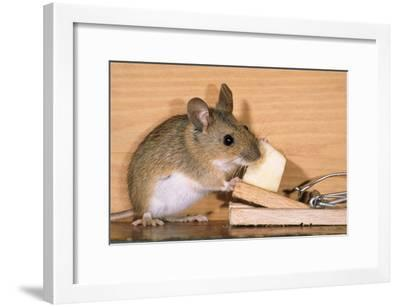 Yellow-Necked Mouse at Mousetrap--Framed Photographic Print