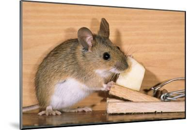 Yellow-Necked Mouse at Mousetrap--Mounted Photographic Print