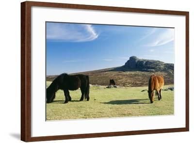 Dartmoor Ponies with Haytor in Background--Framed Photographic Print