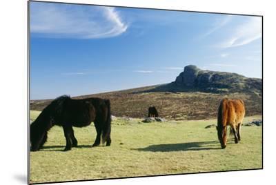Dartmoor Ponies with Haytor in Background--Mounted Photographic Print