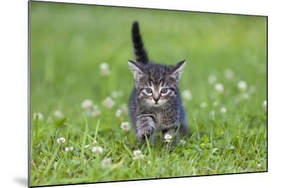 Kitten Walking across Lawn--Mounted Photographic Print