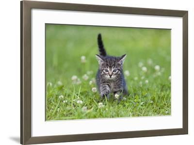 Kitten Walking across Lawn--Framed Photographic Print
