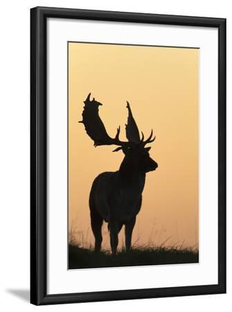 Fallow Deer Buck as Silhouette Standing on Horizon--Framed Photographic Print