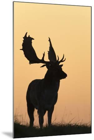 Fallow Deer Buck as Silhouette Standing on Horizon--Mounted Photographic Print