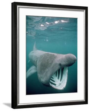 Basking Shark Mouth Open--Framed Photographic Print