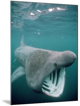 Basking Shark Mouth Open--Mounted Photographic Print