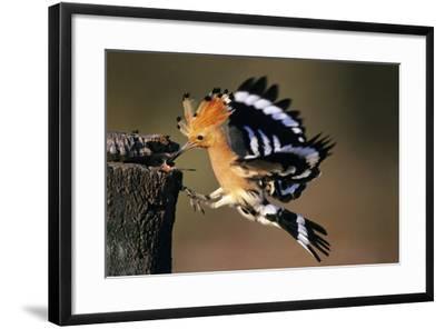 Hoopoe Bird Feeding Young in Flight--Framed Photographic Print