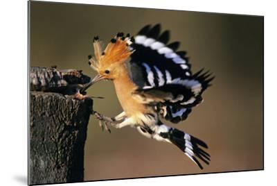 Hoopoe Bird Feeding Young in Flight--Mounted Photographic Print