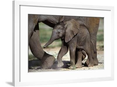 African Elephant Calf--Framed Photographic Print