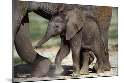 African Elephant Calf--Mounted Photographic Print